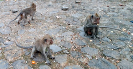 Naughty Macaques.