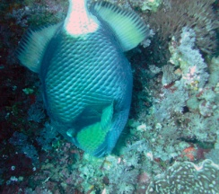 Trigger fish. These guys will attack.