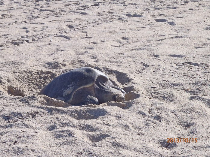 Busy mama turtle giving birth on a beach i San Jose del Cabo.