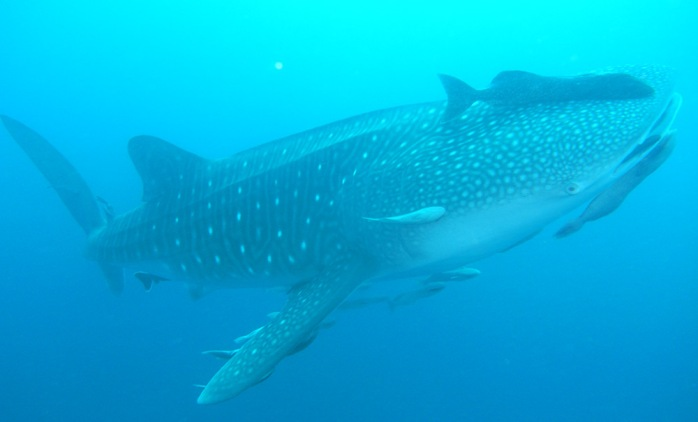 Amazing. This curious, probably adolescent whale shark, hung around for most of the dive.