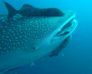 Thanks for showing up, whale shark.