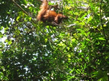 Orang gets lunch next to the resort
