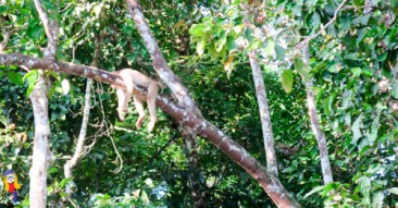 This is a lazy macaque