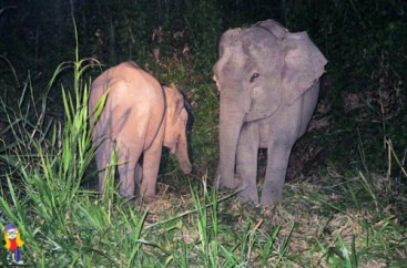 Pigmy elephants. There were dozens on the riverbank.