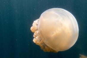 Jellyfish Lake March 2016
